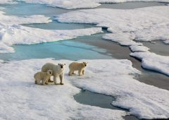 Polar bear mother with two cubs on an ice flow in the arctic ocean.  Symbolic for climate situation in the arctic. Symbol for endangered wildlife by global warming. The picture is taken between Franz Josef Land and North pole in the russian arctic. It is a mother with a  1/2 years old cubs.Copy space.